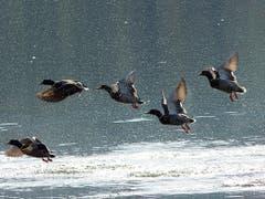 Fünf Stockenten beim Abflug auf dem Soppensee. (Bild: Josef Lustenberger (Buholz, 17. Oktober 2018))