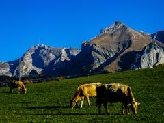 Die Kühe am Schwendisee mit toller Aussicht. (Bild: Renato Maciariello)