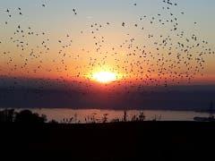 Sonnenuntergang von Edlibach Richtung Zugersee mit den Vögeln im Vordergrund, die sich zum Abflug Richtung Süden sammeln. (Bild: Ruedi Walker (Edlibach, 18. Oktober 2018))
