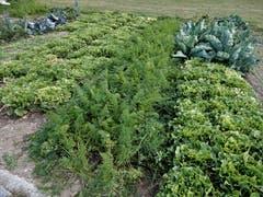 Nei, nei in Meggä esch zum Glück no nid jedes Grundstück verbaut, do gits en wunderschönä Gartä, wo der Inhaber jedes Johr ganz viel Rüebli und Härdöpfu usrupft und ganz viel Salat abhaut ! Aufgenommen an der Sentibühl-Strasse in Meggen. (Bild: Margrith Imhof-Röthlin (Meggen, 2. Oktober 2018))