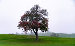 Herbstbaum im Nebel. (Bild: Josefine Kunz-Distel (Meggen, 20. Oktober 2018))