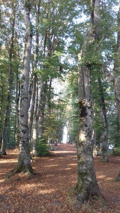 Baumallee. Aufnahmeort: Wald Kathedrale, Schlössliwäldli, Beromünster. (Bild: Daniela Helfenstein-Inglin)