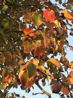Rebenblätter in der Herbstabendsonne bei Sursee. (Bild: Carmela Rösch, 20. Oktober 2018)