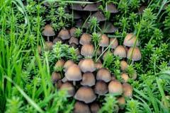 Während meiner Wanderung sah ich in einer Wiese dies schöne Ansammlung von Pilzen. (Bild: Jörg Föhn (Zwischen Greppen und Küssnacht, 9. Oktober 2018))