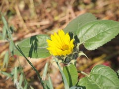 Die Sonnenblume will sich Ende Oktober noch nicht verabschieden. Sie freut sich über die Nährstoffe aus Kompost. (Bild: Rita Räber (Gelfingen, 22. Oktober 2018))