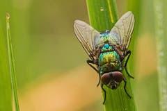 Fliege mit herbstlichem Morgentau (Bild: Franziska Hörler)