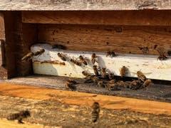 Hochbetrieb im Bienenstock und das am 20.Oktober 2018 (Bild: Toni Sieber)