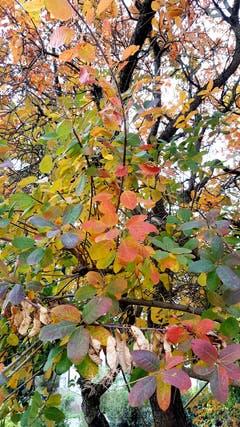 Wunderschöne Herbstfarben in Münchwilen. (Bild: Stephan Lendi)