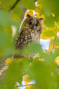 Waldohreule zwischen Herbstlaub (Bild: Edgar Huber)