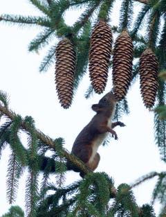 Das Eichhörnchen sucht sich einen Tannenzapfen aus (Bild: Hans Aeschlimann)