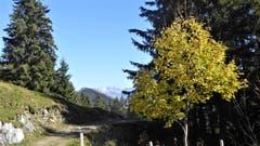 Herbst auf Musenalp NW mit Durchblick zum Glärnisch (Bild: Hans Steiner (22. Oktober 2018))