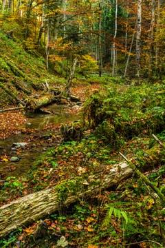 Herbstliche Wildnis in Rehetobel. (Bild: Matthias Rozinek)