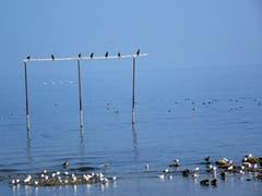 Vier Schwäne werden in Arbon von Kormoranen beobachtet. (Bild: Claude Besançon)