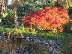 Herbstfarben in Nachbarsgarten. (Bild: Claudine Germann)