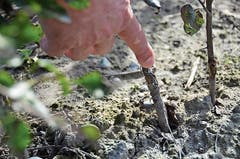 An dieser Stelle wurde der veredelte Apfelbaum auf die «Unterlage» aufgepfropft.