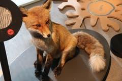 Der Fuchs - oder «Meister Reinecke» - ist eines der bekanntesten, auch in der Stadt anzutreffenden Wildtiere.