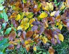Sinfonie der Herbstfarben, mit kleiner Spinne! (Bild: Josef Habermacher)