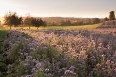Ein Traum in lila (Phacelia), aufgenommen in Ettiswil beim Hostrisfeld (Bild: Priska Ziswiler-Heller)