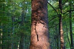 Der Schatten eines abgebrochenen Astes zaubert ein Tattoo auf diesen Baumstamm. (Bild: Hansjürg Oesch)