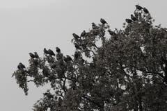 Stare rasten in Wittenbach auf ihrer Reise nach Süden. (Bild: Thomas I. Clerici-Gols)