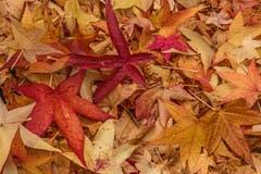 Ein Teppich aus Ahornblättern. (Bild: Franziska Hörler)