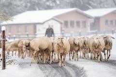 Schafe auf einer verschneiten Strasse bei Grindelwald. (Bild: Anthony Anex/Keystone (28. Oktober 2018)