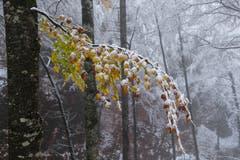 Mit weissen Hauben beladene Herbstblätter. (Bild: Franz Häusler)