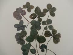 Meine bisherigen Fundstücke an vierblättrigen Kleeblättern in diesem Jahr, ob sie alle Glück bringen ist leider nicht so klar. Entdeckt auf ganz verschiedenen Wanderungen. (Bild: Margrith Imhof-Röthlin (Meggen, 3. Oktober 2018))