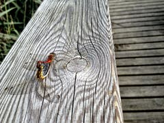 Paarungsrad der Heidelibellen. (Bild: Toni Sieber)