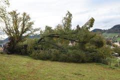 Der Baum beim Altersheim «Dreilinde» in Herisau ist umgestürzt. (Bild: Jesko Calderara)