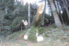 Im «Schneggenberg» mussten teils gebrochene, teils mit dem Wurzelteller geworfene Fichten auf verschiedenen Höhen über Boden abgesägt werden, um die Waldstrasse wieder befahrbar zu machen. (Bild: pd)