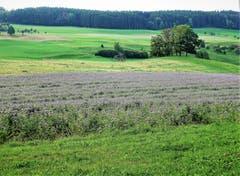 Phacelia Bodenverbesserer, oder Bienenweide genannt, in lila. (Bild: Josef Habermacher (Rickenbach, 4. Oktober 2018))