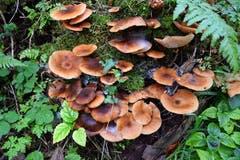 Eine Pilzansammlung im Wald in Mogelsberg. (Bild: Hansjürg Oesch)