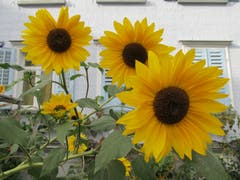 Einfach schön: Sonnenblumen in Gossau. (Bild: Claudine Germann)