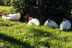 Einfach mal ausruhen...glückliche Hühner beim Sonnenbad in St.Gallen-Notkersegg. (Bild: Andrea Pohle)