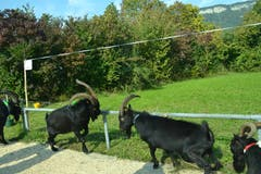 Bei den Ziegenböcken der Rasse Nera Verzasca geht es hart zu und her. (Bild: Paul Küchler (Oberdorf, 7. Oktober 2018))
