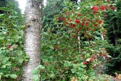 Herbstlicher Farbtupfer im Bogetenwald. (Bild: Josef Habermacher (Rickenbach, 8. Oktober 2018))