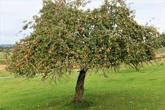 Allgemein ertragreicher Herbst 2018, auch beim Obst. (Bild: Josef Habermacher (Rickenbach, 8. Oktober 2018))