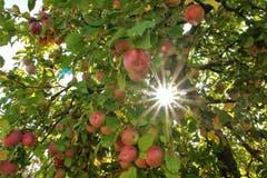 Voll behangener Apfelbaum in diesem Traum-Herbst. (Bild: Edith Tanner (St. Erhard, 9. Oktober 2018))