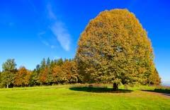 Welch eine Augenweide - diese Baum-Farbenpracht, fotografiert am 1. November im Süd-West-Zipfel der Gemeinde Emmen, bei Ober Wolfisbühl. (Bild: Heinz Schürmann)