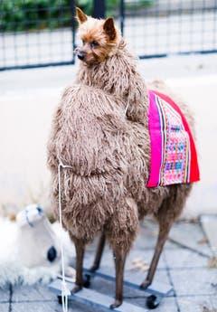 Auch das noch: Ein Hundebesitzer hat seinen Vierbeiner für die Hunde-Halloween-Parade im New Yorker East River Park in ein Lama-Kostüm gesteckt. Na ja. (Bild: Justin Lane/EPA (New York, 28. Oktober 2018))