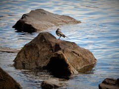"""Warum sollte sich eine """"Bach""""-stelze nicht auch an einem See """"vögeli-wohl"""" fühlen ? Fotografiert in Meggen. (Bild: Margrith Imhof-Röthlin, 1. November 2018)"""