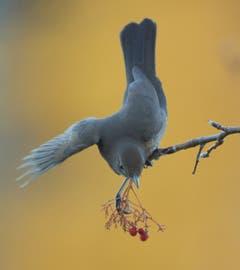 Amsel im Vogelbeerstrauch . (Bild: Hans Aeschlimann)