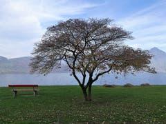 Tolle Herbststimmung mit dem Ruhebänkli und dem wunderbaren Baum am Seebecken von Buochs. (Bild: Urs Gutfleisch (10. November 2018))