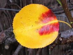 Herbstfarben auf Birnenblatt. (Bild: Toni Sieber)
