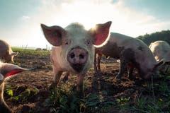 Glückliche Freilandschweine in Kalchrain (Bild: Pascal Debrunner)