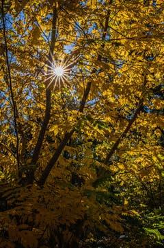 Herbstgold in Rotmonten (Bild: Franziska Hörler)