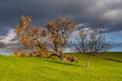 Lutzenland Herisau: Der grosse Baum hat dem Sturm nachgegeben, der Kleine hielt stand. (Bild: Luciano Pau)