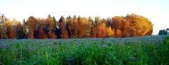 Wald bei Lengwil im Herbstgewand. (Bild: Thomas Ammann)