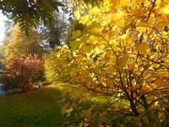 Herbstlicher Feigenbaum in Garten (Bild: Robert Jehlen)